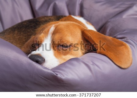 Beagle sleeping on the soft chair at home