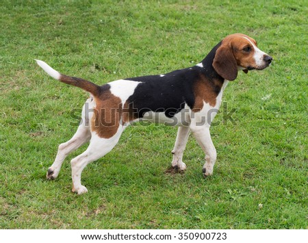 Beagle.Standing and watching.