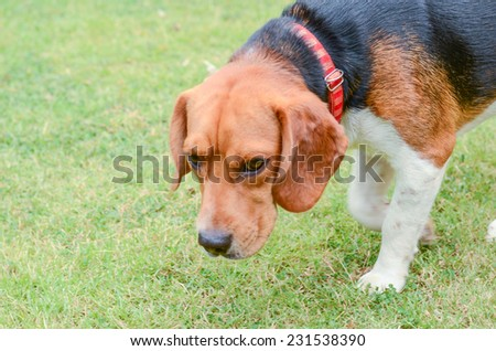 Beagle  standing on green grass