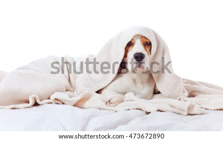 Beagle under the white blanket , isolated on white background
