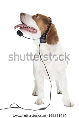beagle with headphones and microphone on white background