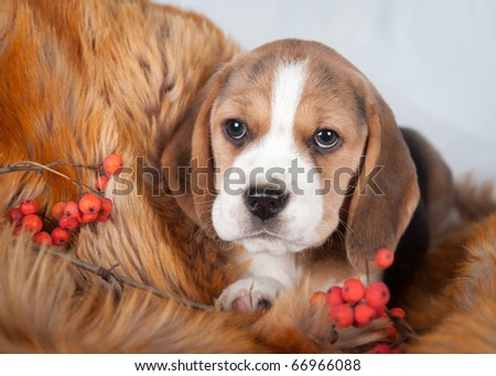 Beagle with red berries - stock photo
