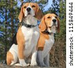 Beagles - stock photo