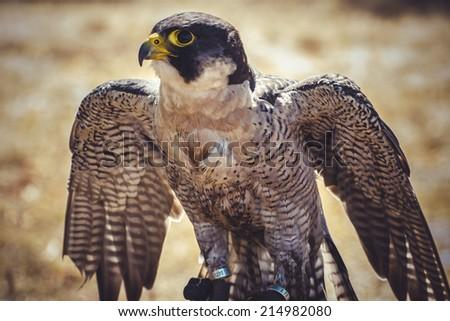beak, peregrine falcon with open wings , bird of high speed - stock photo