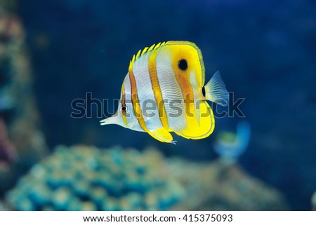 beaked coral fish or Copperband butterflyfish