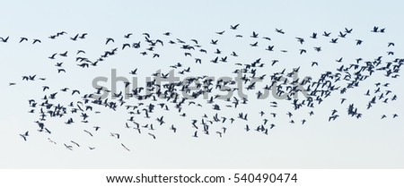 Bean Geese, Anser fabalis, Germany, Europe
