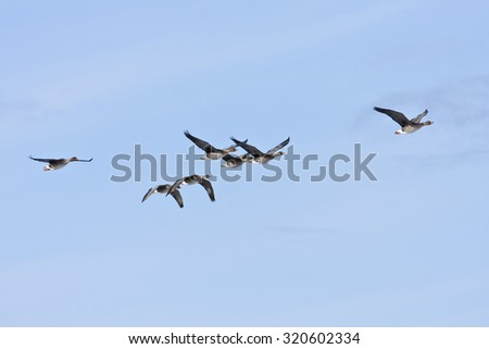 Bean goose in formation, bird migration. Anser fabalis, in seasonal movement between breeding and wintering grounds.