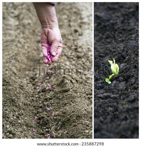 Bean seedling - stock photo