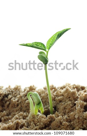 beans sprouts - stock photo