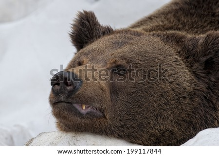 Bear brown grizzly portrait in the snow while looking at you