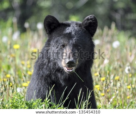 bear chewing on grass - stock photo