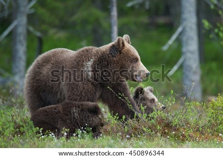 Bear cubs with their mother she-bear in the summer forest. Bear family of Brown Bear (Ursus arctos).   - stock photo