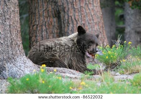 bear eating fish - stock photo
