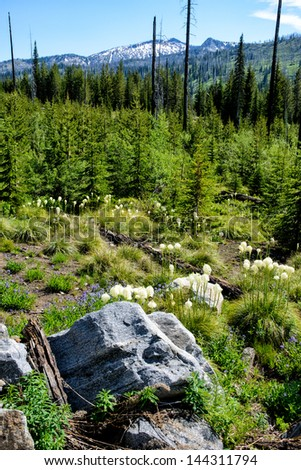 Bear Grass and Penstemon in Forest Recovering from Fire - stock photo