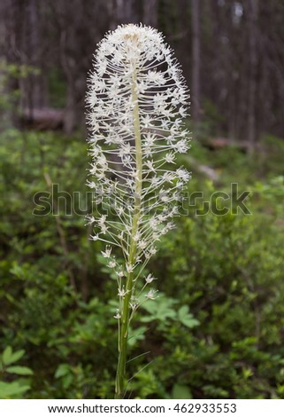 Bear Grass In Bloom in thick summer forest
