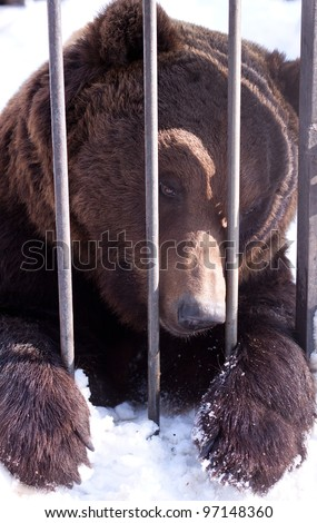 bear in a zoo cage - stock photo