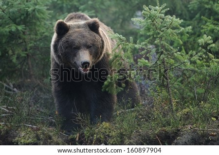 Bear in forest - stock photo