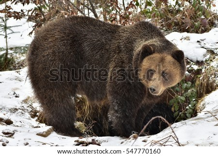 Bear in front of its burrow