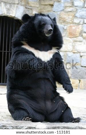 Bear in Lisbon zoo - stock photo