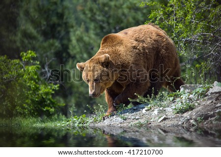 Bear in the woods on the banks of the river - stock photo