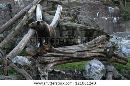 Bear in zoo - stock photo