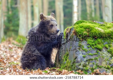 bear is examining the rocks - stock photo