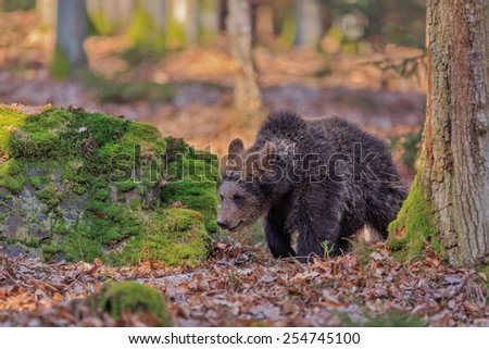 bear looking for food - stock photo