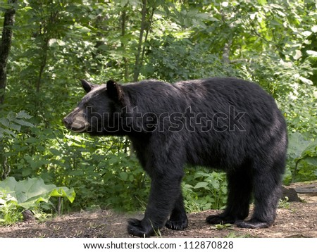 Bear on the Prowl - stock photo