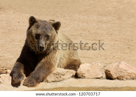 Bear resting on rocks