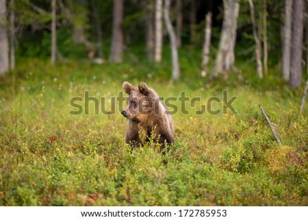 Bear sitting in finish forest