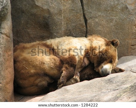 Bear sleeping at the North Carolina Zoo