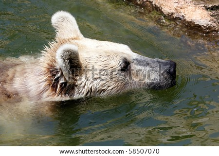 Bear swimming in a small pool
