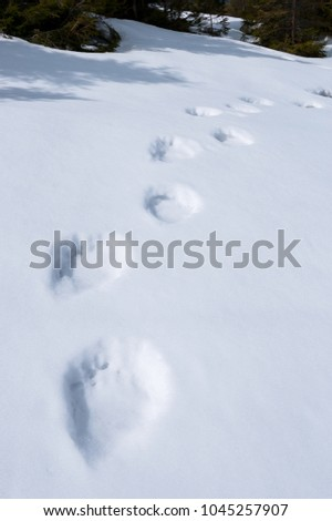 Bear tracks in the snow. Spring in the highlands. Danger in the wild
