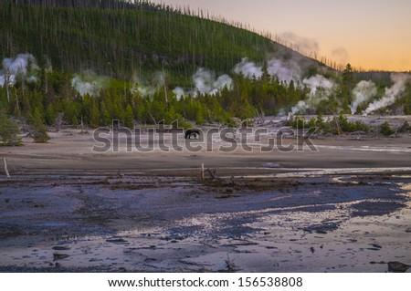 Bear Walking across Norris Geyser Basin after Sunset - Yellowstone National Park - stock photo