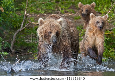 Bear with bear cubs in Russia on the peninsula of Kamchatka