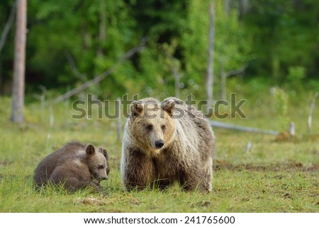 Bear with cubs in the swamp