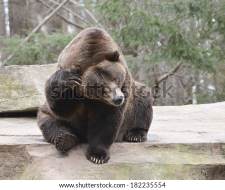 bear with itch to scratch - stock photo