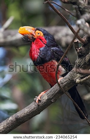 Bearded Barbet (Lybius dubius) eating an orange. - stock photo