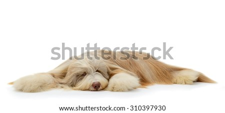 Bearded Collie dog portrait lying down isolated on white background.