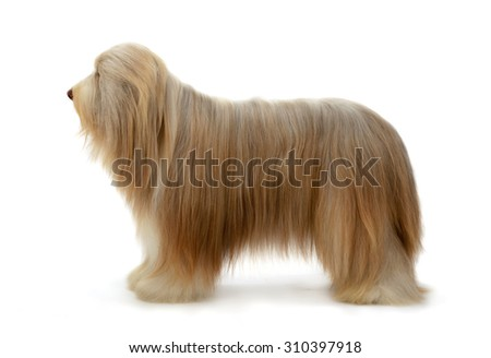 Bearded Collie dog portrait stand isolated on white background.
