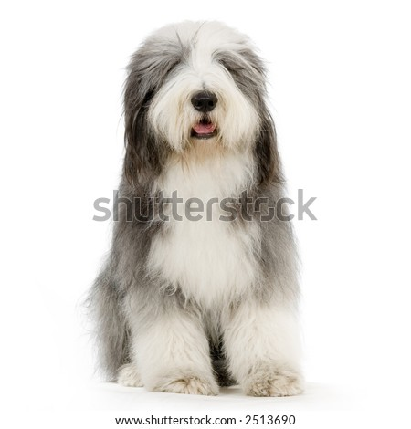 Bearded Collie in front of a white background - stock photo