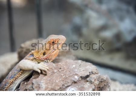 Bearded Dragon Agama Lizard on stone - stock photo