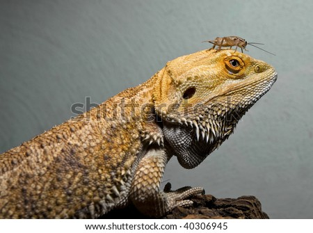 Bearded dragon and cricket buddy