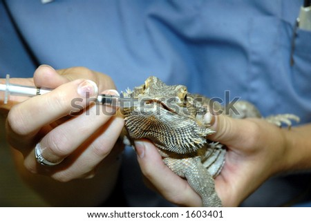 bearded dragon getting oral medication