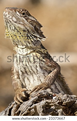 Bearded Dragon in natural environment on log - stock photo