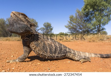 Bearded dragon lizard in defensive stance, Australia
