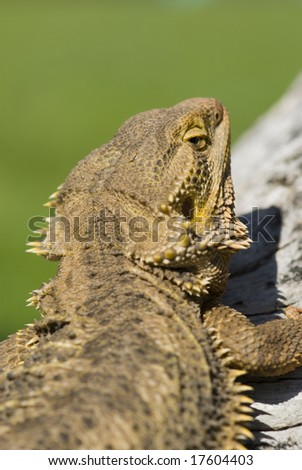 Bearded dragon looking over right shoulder at viewer