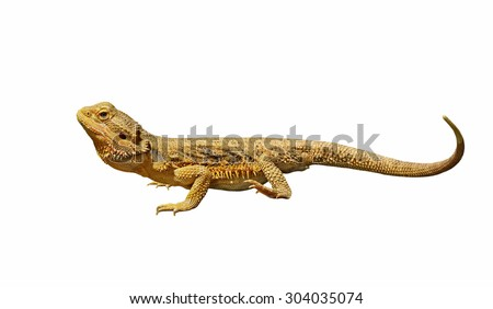 bearded dragon or pogona vitticeps isolated on white background