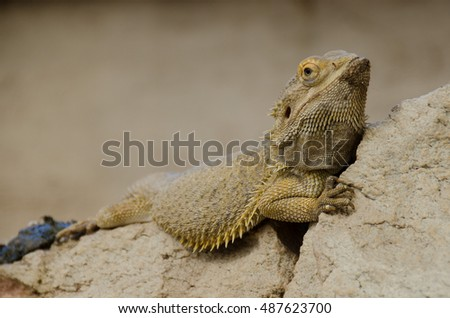 Bearded dragon rest on a rock