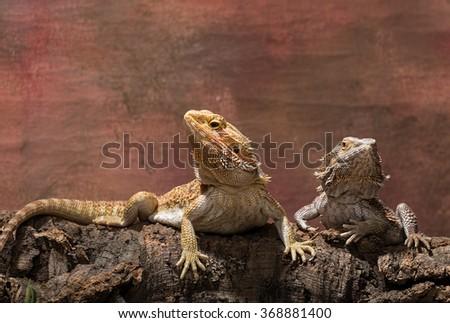 Bearded dragons - stock photo